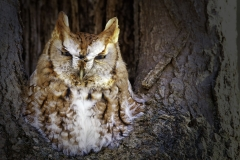 This Screech Owl was photographed along the road in Hamilton on January 5 and found dead from a collision with a car on January 6, a very, very sad sight to see and unfortunately oh so common with our Screech Owls