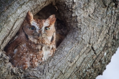 Only 8' off the ground and right along the road, I was surprised each time I saw this Owl but not again this year.