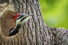Pileated-WP-06-06-14-2560B