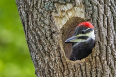 Pileated-WP-06-06-14-2560C