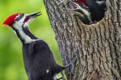 Pileated-WP-06-09-14-2560B-1